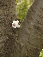 fleur-fle sakura 019.JPG