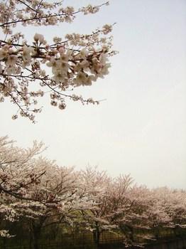 fleur-fle sakura 120.JPG